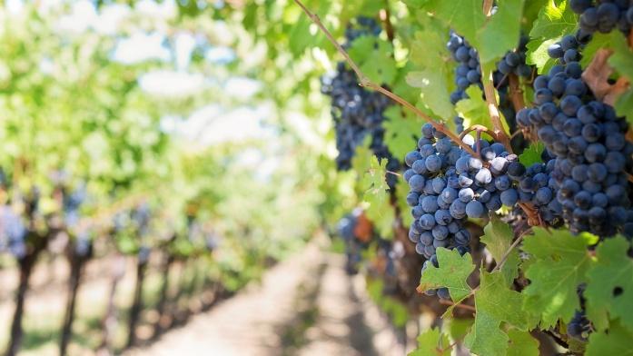 Apulia atrakcje - winnica